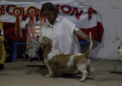 Exibición Basset hound, Jávaga, Cuenca 2 (1)